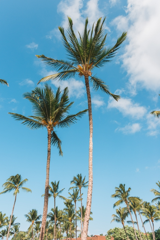 Palm Trees at the Grand Wailea - Part II