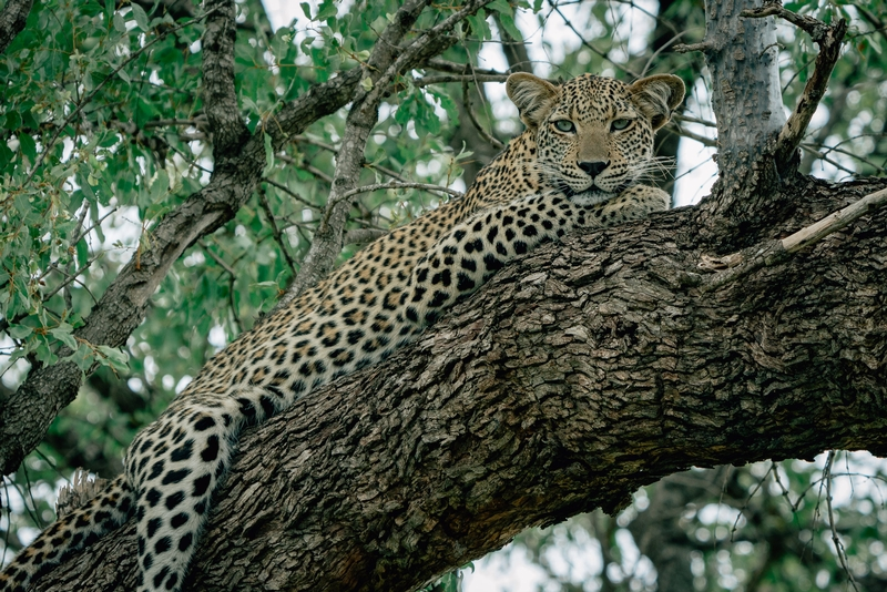 A Leopard in a Tree 2