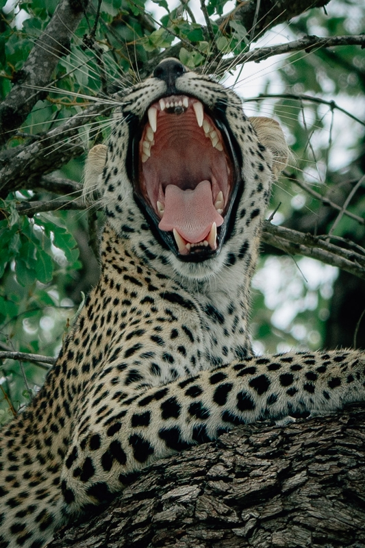 A Leopard Opens Wide 2