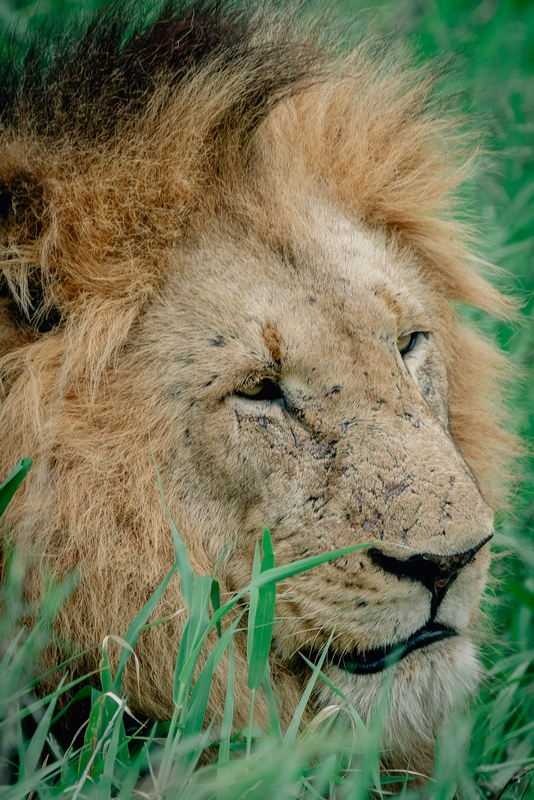 The Lions of Lebombo Up Close 2