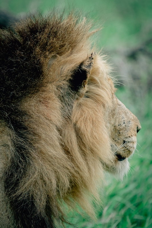 The Lions of Lebombo Up Close 4