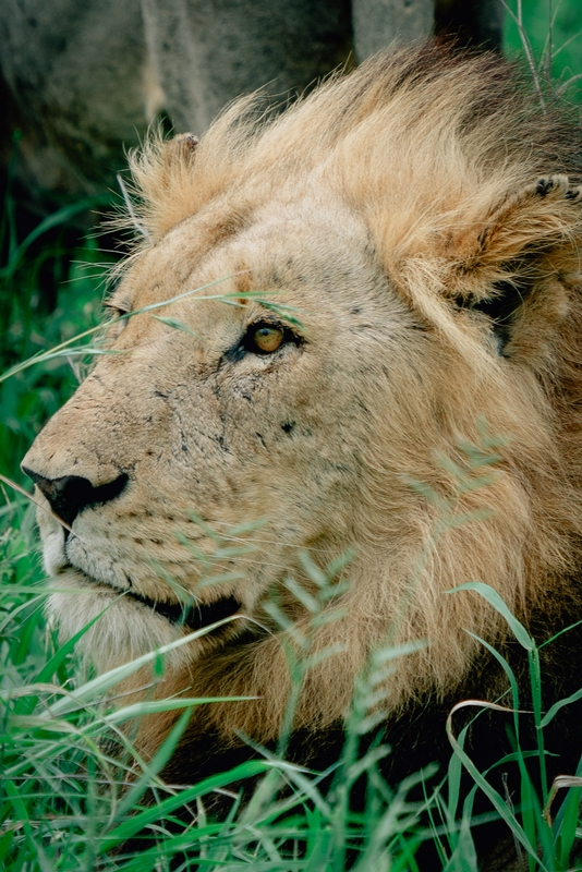 The Lions of Lebombo Up Close 8