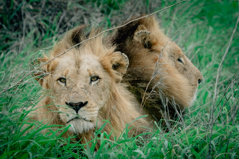 The Lions of Lebombo Up Close 9