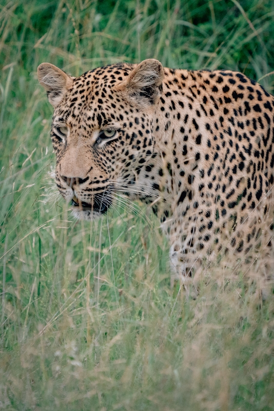 Tracking a Leopard