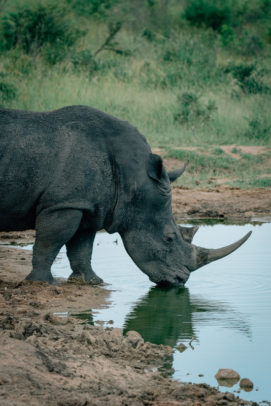 The Rhino Grabs a Beverage 2