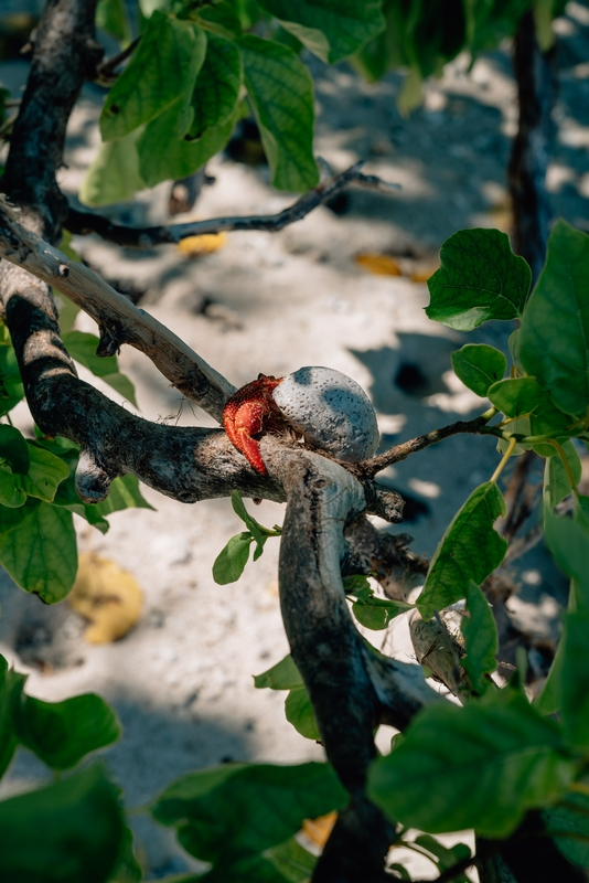 A Crab in a Tree