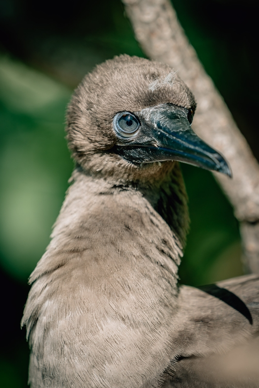 The Brown Booby of Polynesia