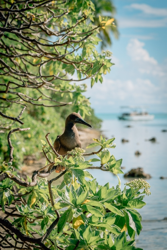 The Tahitian Brown Booby with our Boat