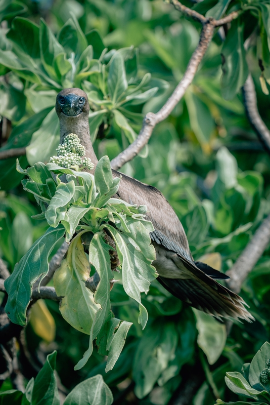 The Tahitian Brown Booby